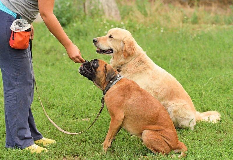 Управляемая городская собака (угс) - все о курсе дрессировки и экзаменах - dogtricks.ru