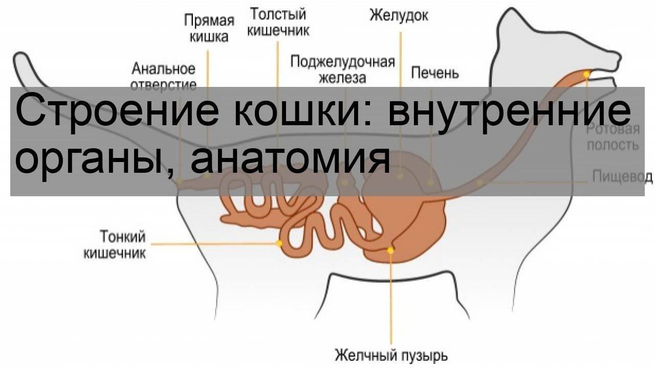 Строение кошки: внутренние органы, анатомия