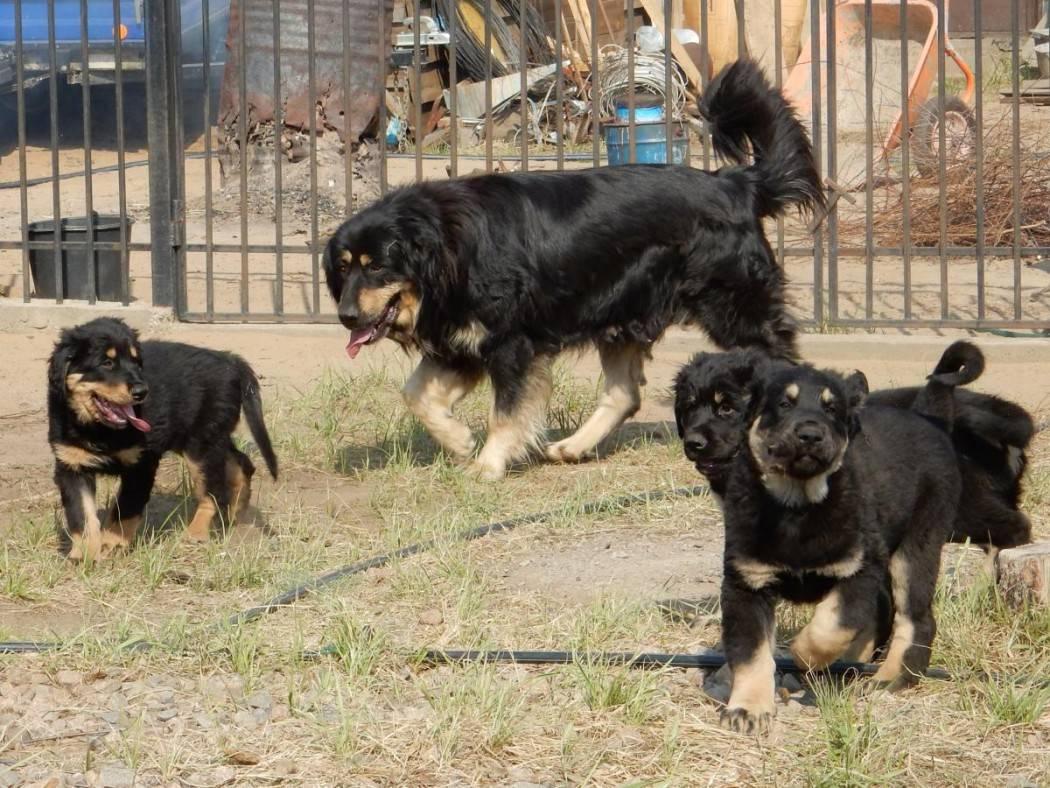 Бурят — монгольский волкодав: описание, характер, фото