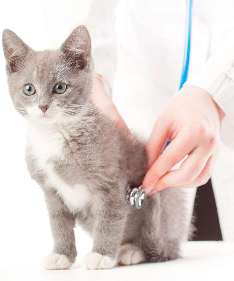 Вакцина против лейкемии кошек felv - вакцинация (прививка) от лейкоза кошек в ветклинике зоостатус