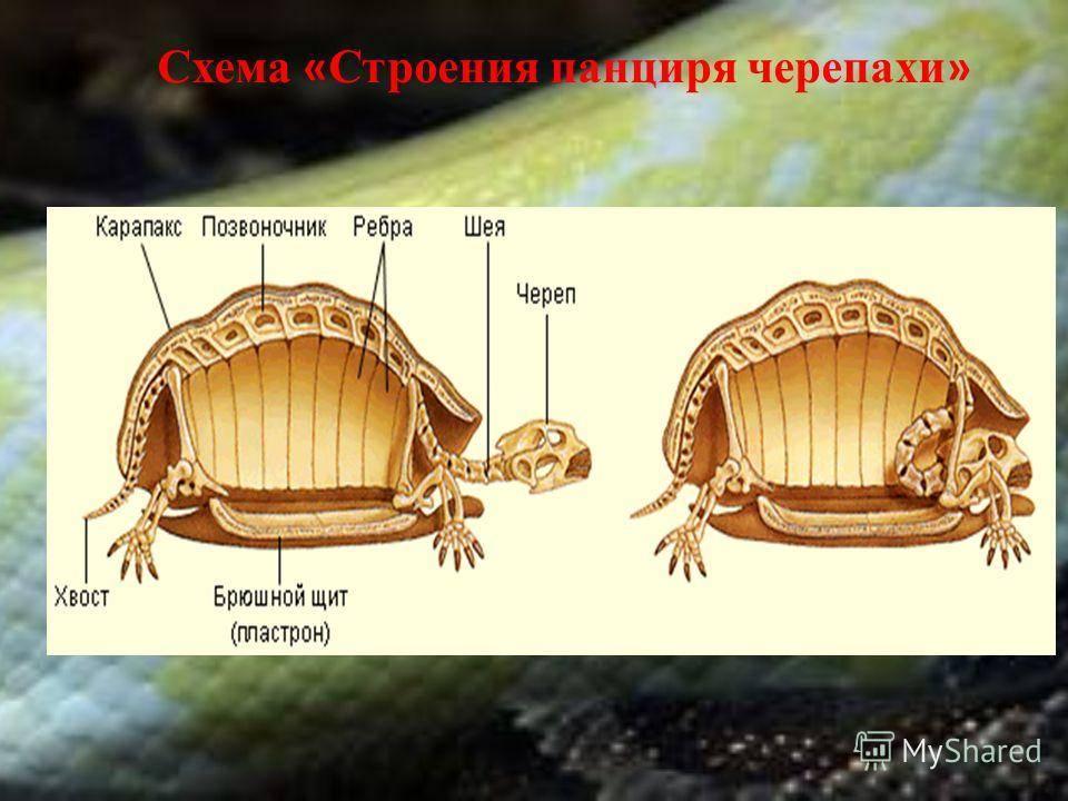 Строение головы и череп черепахи