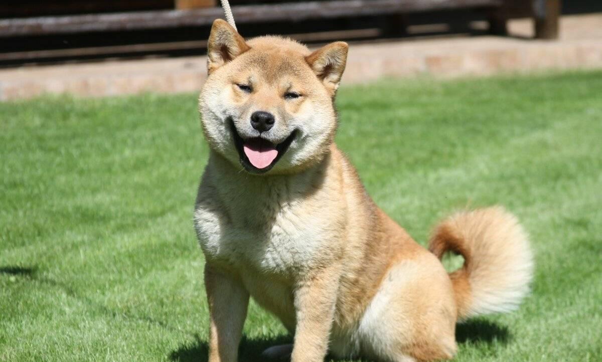 Собака, которая не лает: порода | фото, цена