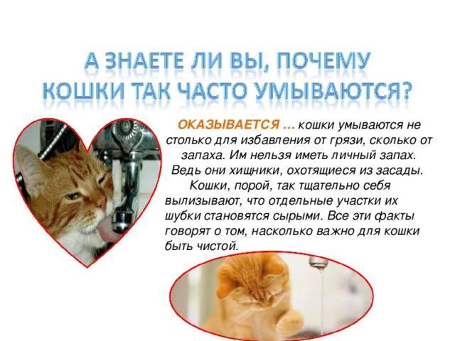 Кошка постоянно облизывается – естественный рефлекс или предвестник недуга