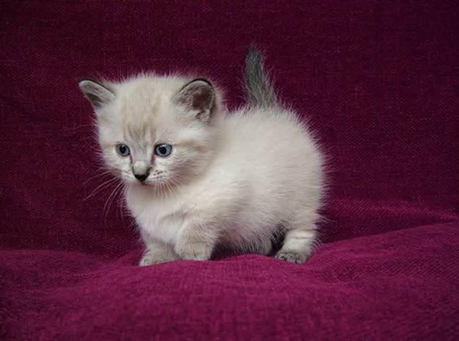 Самые маленькие кошки: 10 пород