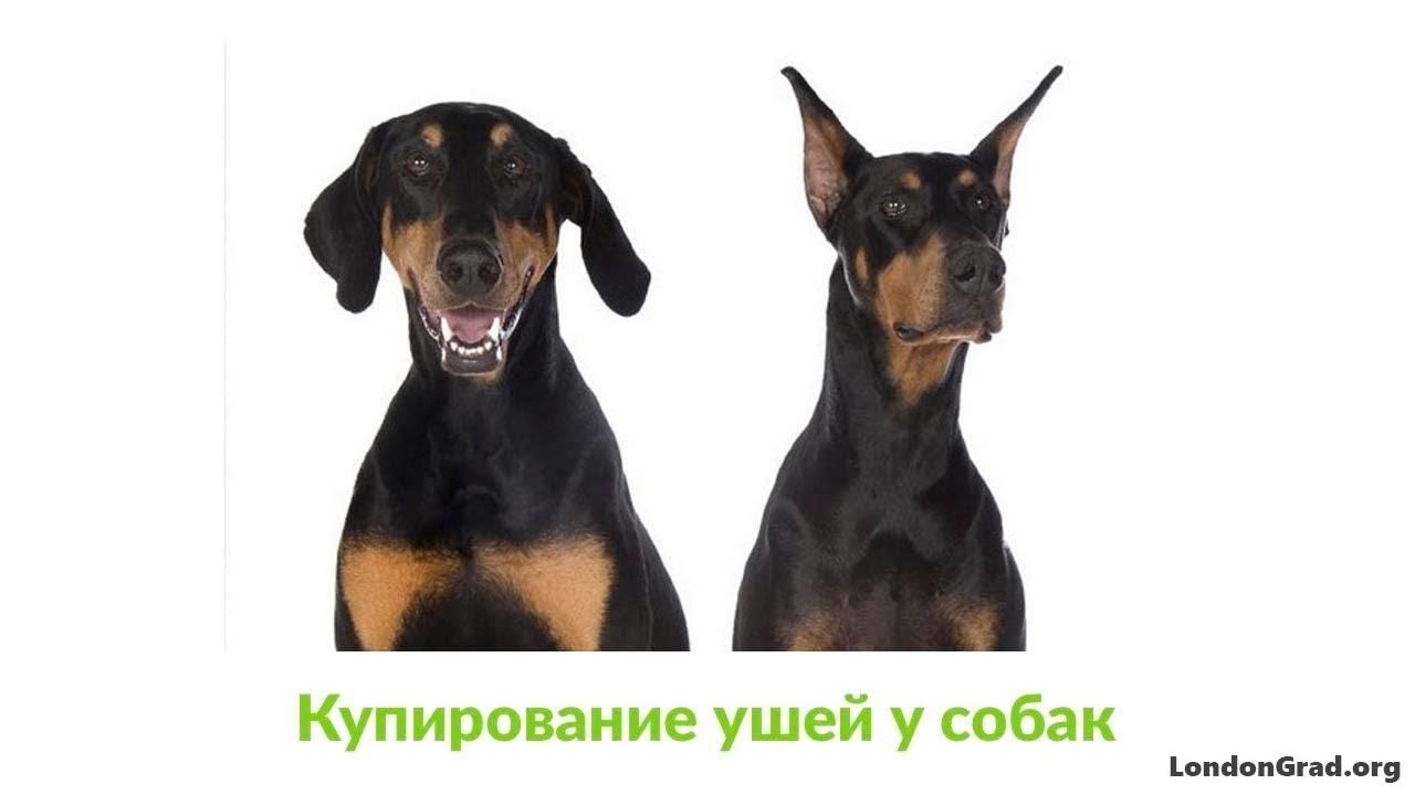 Зачем купируют уши и хвосты собакам, как проводят эти процедуры зачем купируют уши и хвосты собакам, как проводят эти процедуры