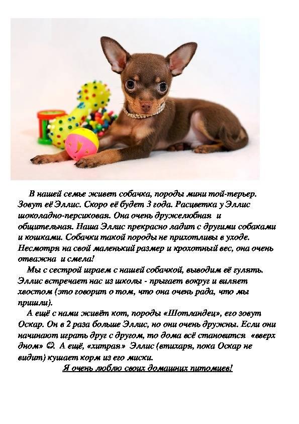 Русский той-терьер: особенности породы, уход, выбор щенка
