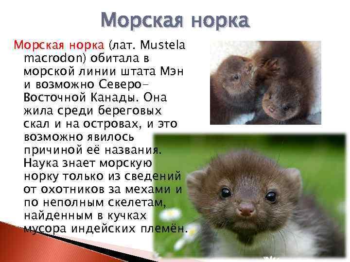 Полное описание норки: образ ее жизни, где обитает и почему занесена в красную книгу | все о животных