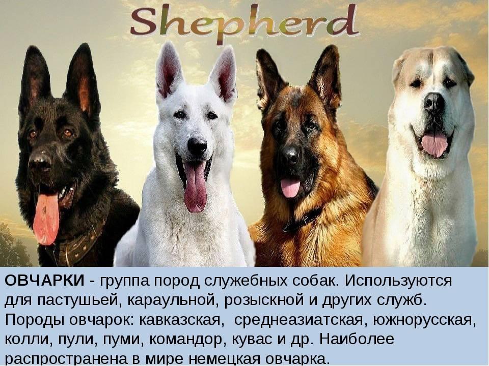 Московская сторожевая: характеристика породы собаки сторожа, описание характера, окраса, содержание