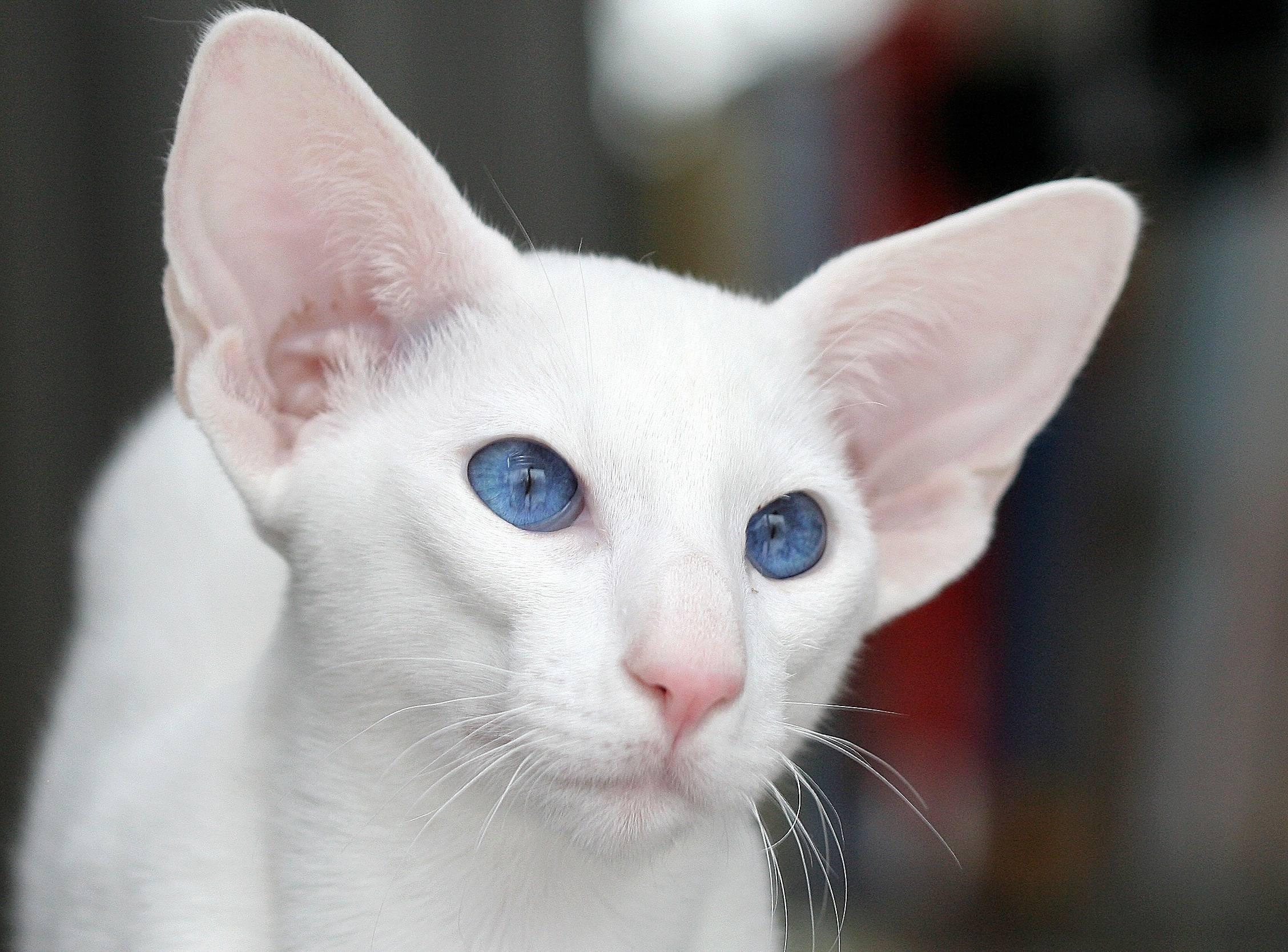 Форин вайт: описание породы кошек, характер, отзывы (с фото и видео)