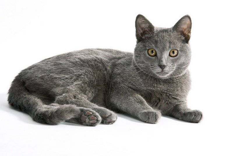 Картезианская кошка или шартрез