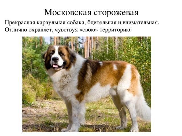 Как назвать московскую сторожевую собаку: красивые имена для мальчиков и девочек.