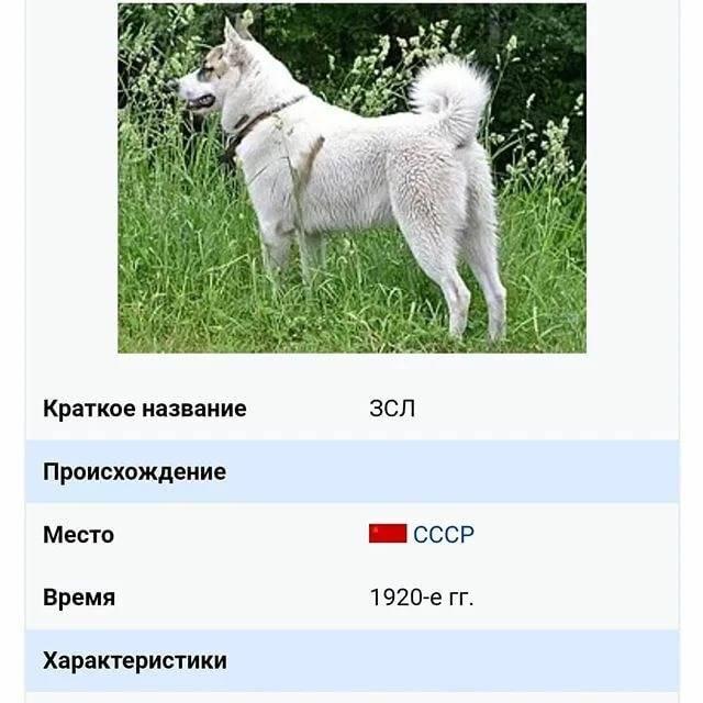 Внешний вид и особенности характера западно-сибирской лайки