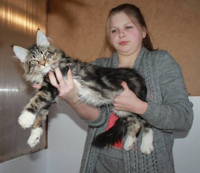 Уход за мейн-куном: питание, здоровье, содержание в квартире. характер котов. отзывы владельцев (фото)