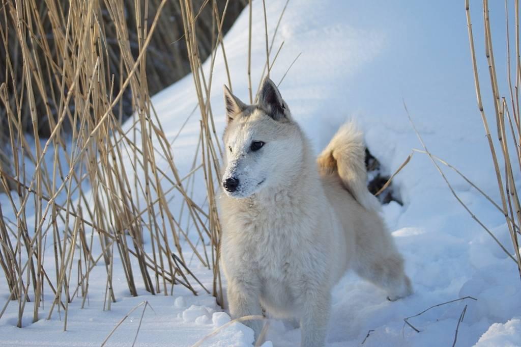 Западносибирская лайка (фото): хороший охотник и верный друг