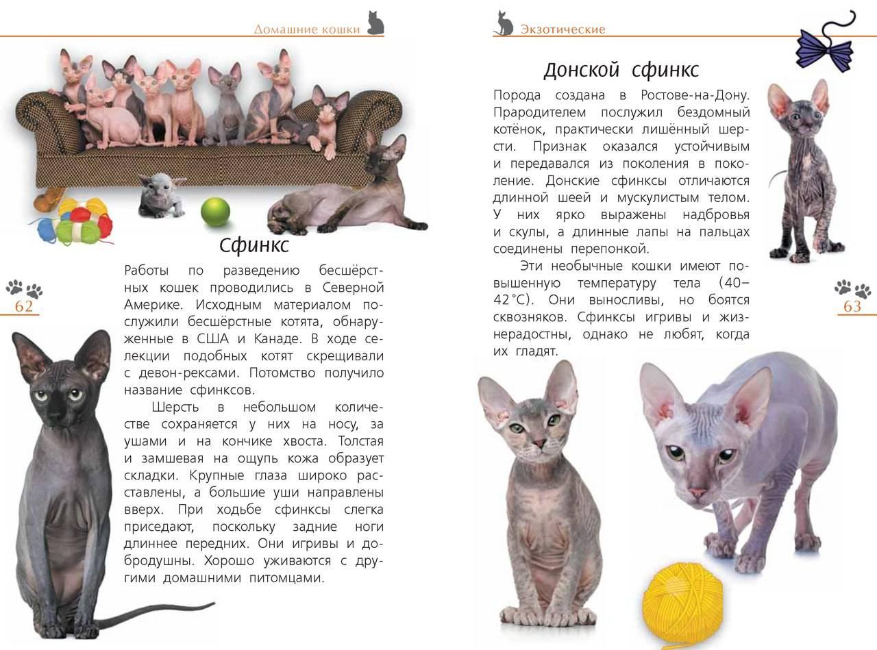 Канадский сфинкс: описание породы с фото, цена котенка