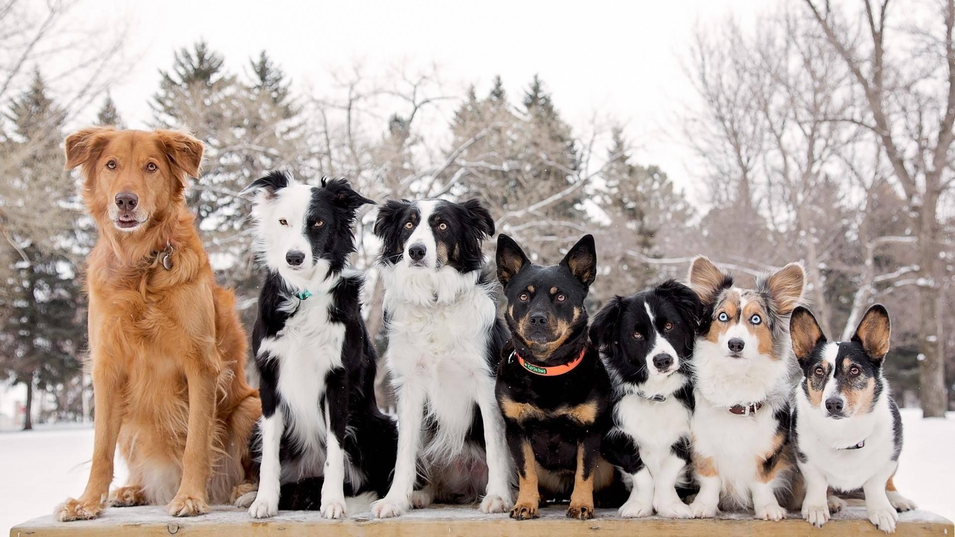ᐉ ханаанская собака описание породы - zoomanji.ru