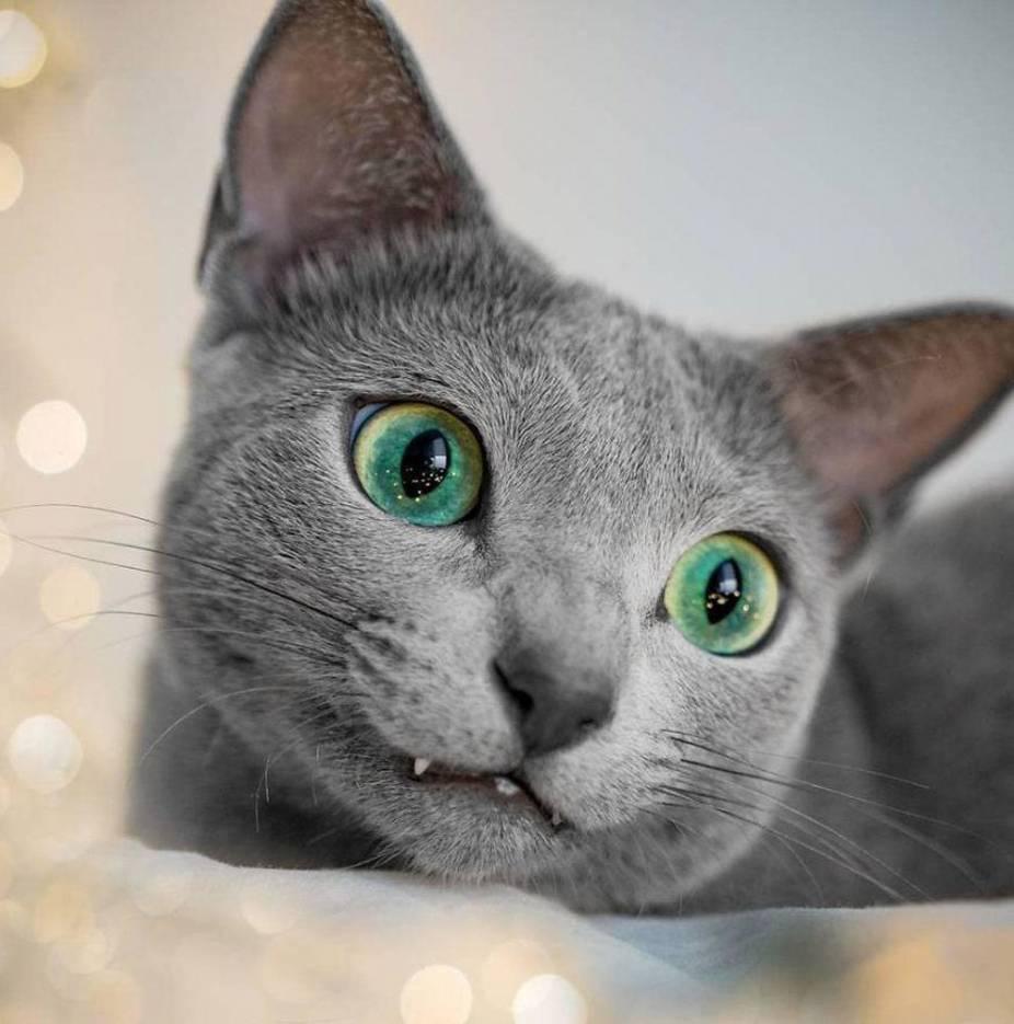 Гетерохромия у кошек