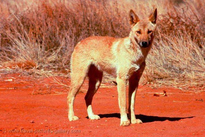 Динго, дикая собака, австралийская собака динго