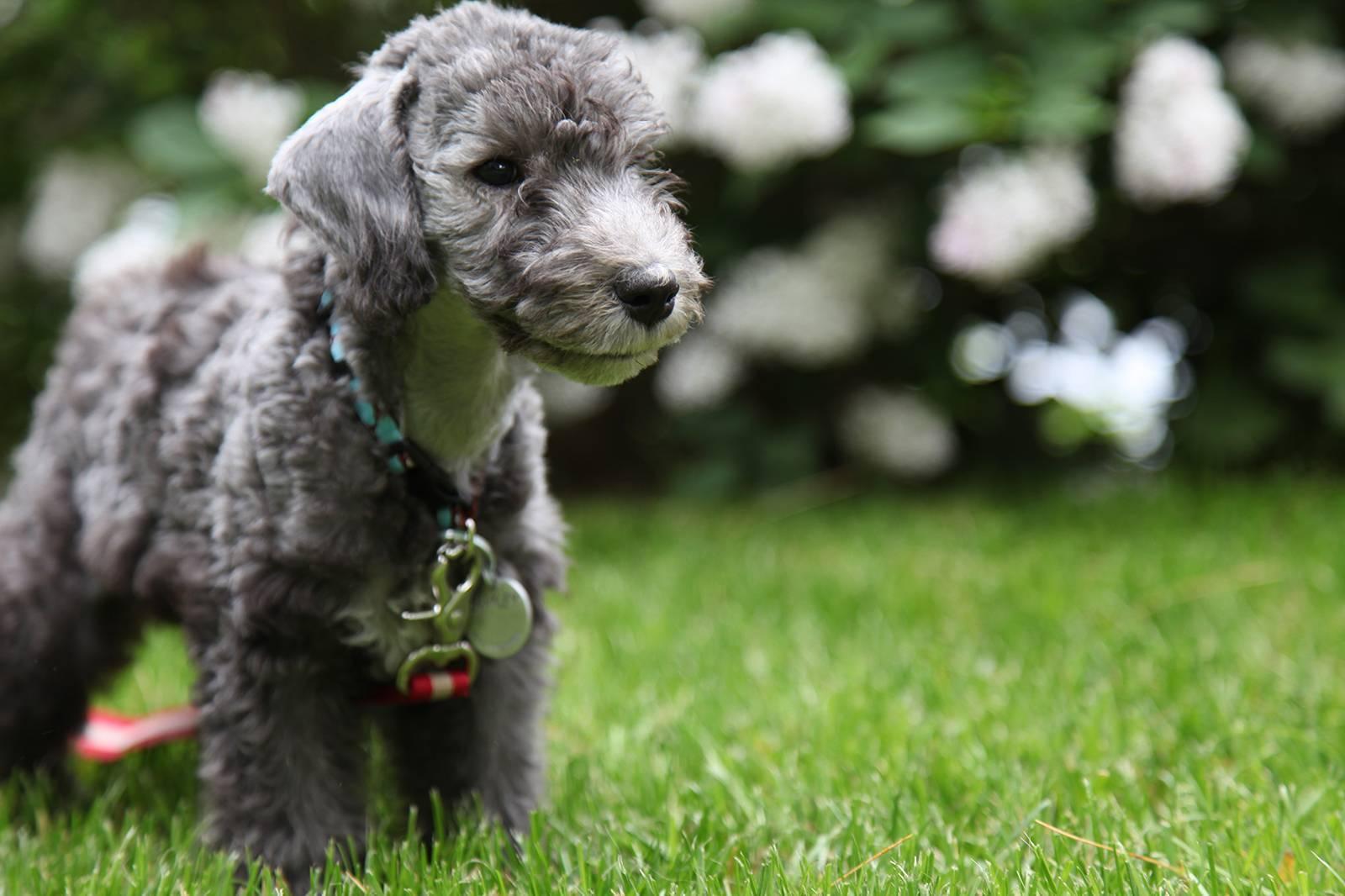 Бедлингтон терьер - все о терьерах, порода собак, стандарт и классификация