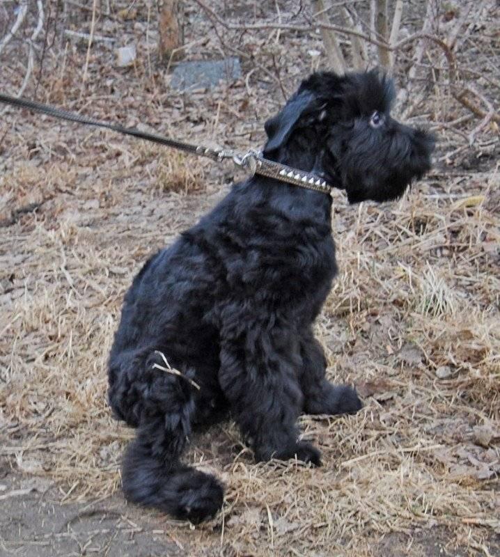 Русский черный терьер собака. описание, особенности, уход и цена породы   sobakagav.ru
