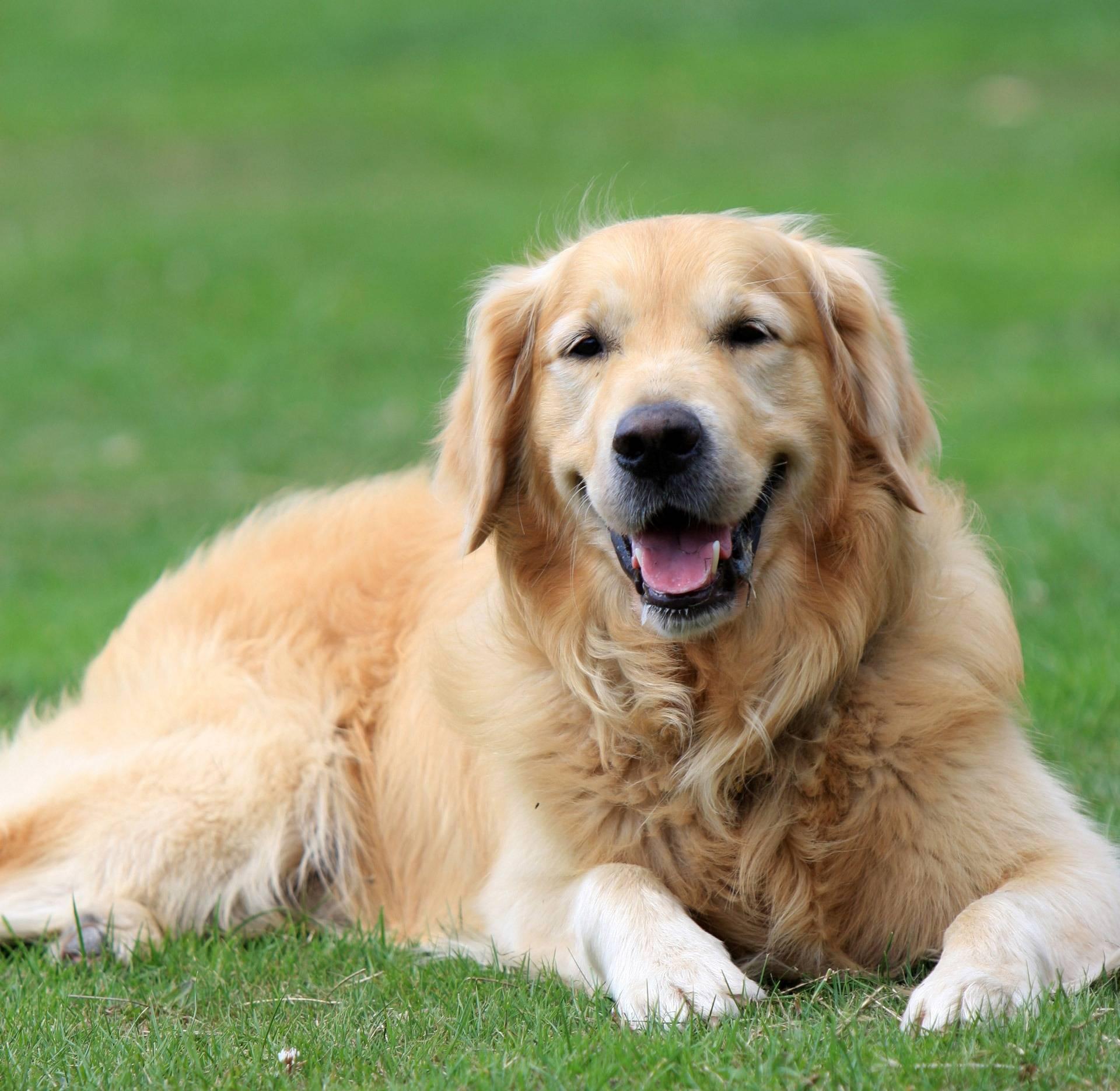 Золотистый ретривер собака. описание, особенности, уход и цена золотистого ретривера