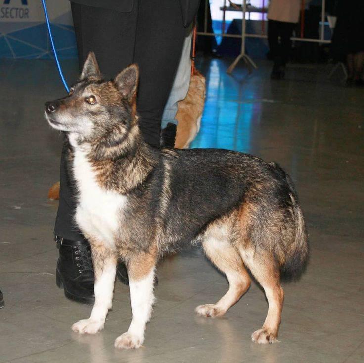 Шалайка: описание породы, характер собак и их содержание