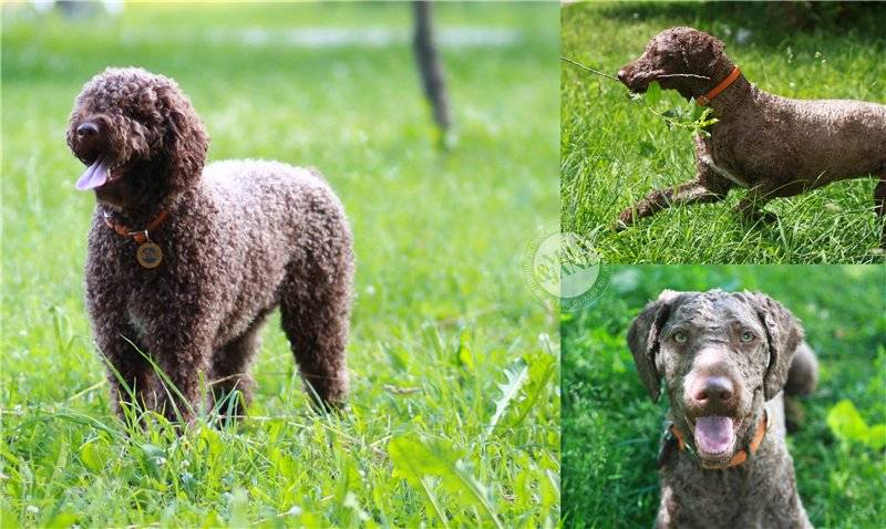 Харьер собака. описание, особенности, уход и цена харьера | sobakagav.ru