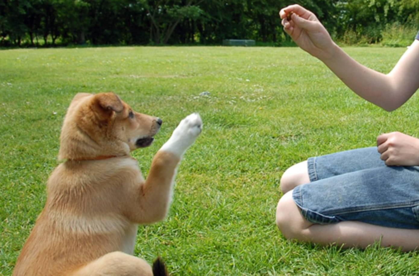 Дрессировка собаки: методы, команды, видео и советы кинологов