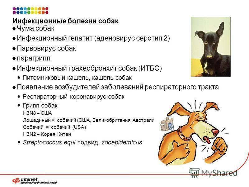 Аденовирус у собак и щенков: 2 вида инфекции, симптомы и лечение аденовироза у собак, прогнозы для заболевшего, профилактика заражений