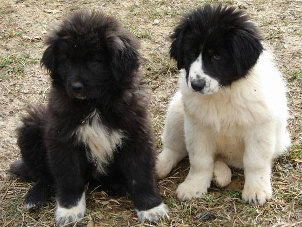 Болгарская овчарка куче (Каракачанская собака)