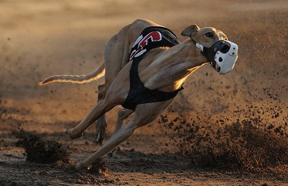 Самые быстрые породы собак