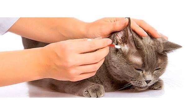 Как почистить уши коту в домашних условиях