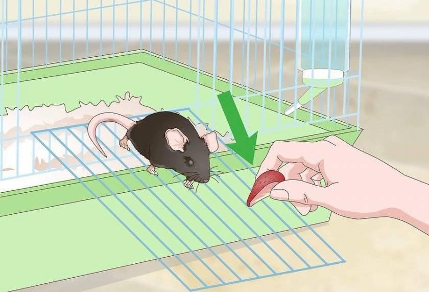 Укус крысы, что делать если укусила ребёнка, опасно ли это?