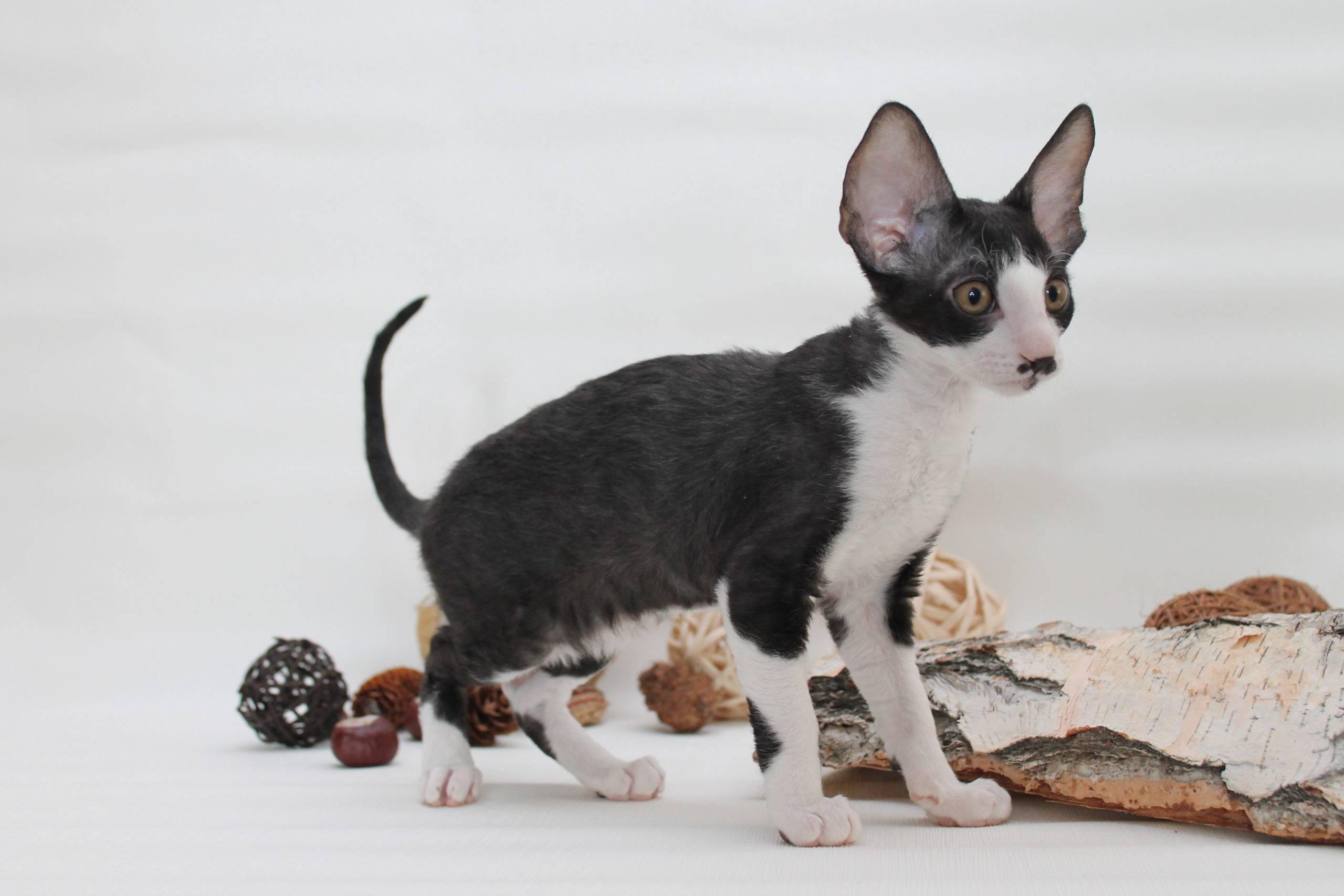Порода кошек корниш рекс: фото, описание породы, отзывы, характер