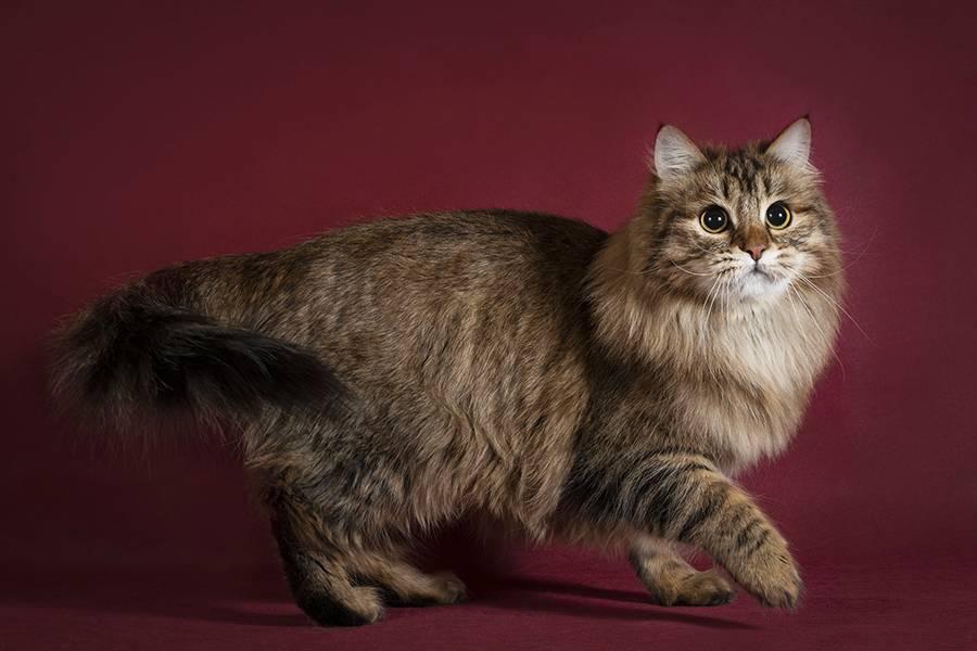 Сибирская порода кошек - описание породы, характер