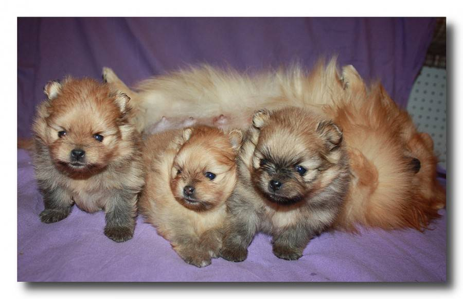 Помчи: описание, характер собаки, питомники, уход, фото и видео