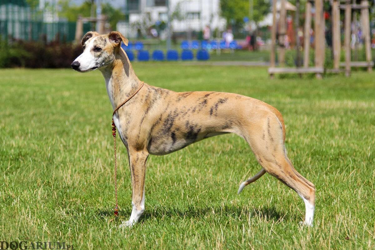 Уиппет (малая английская борзая): фото породы собаки, цены