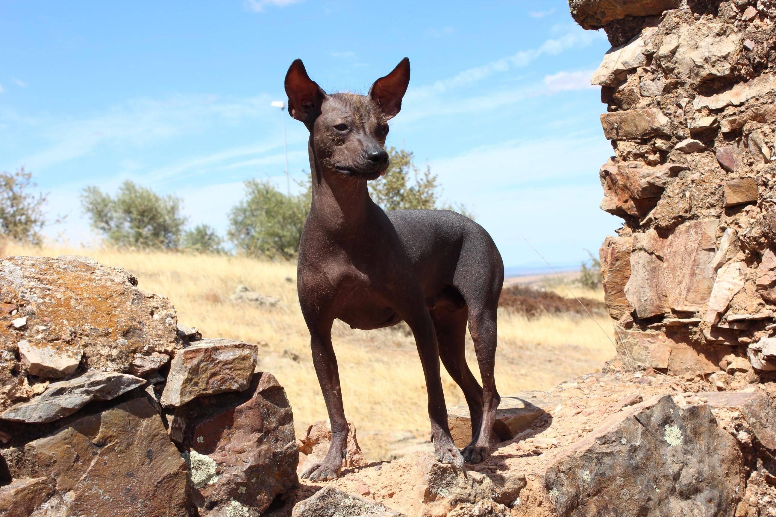 Мексиканская лысая собака, прочие породы голых собак: описание