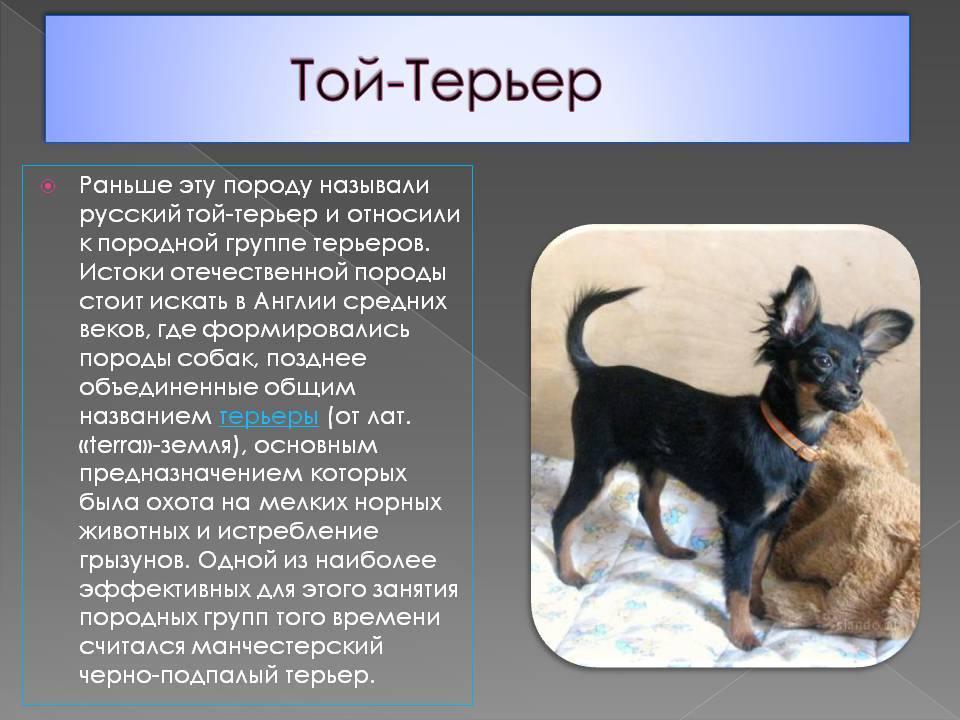 Русский той-терьер: описание породы, характер и правила ухода