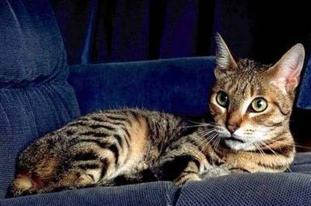 Кошки » породы » калифорнийская сияющая