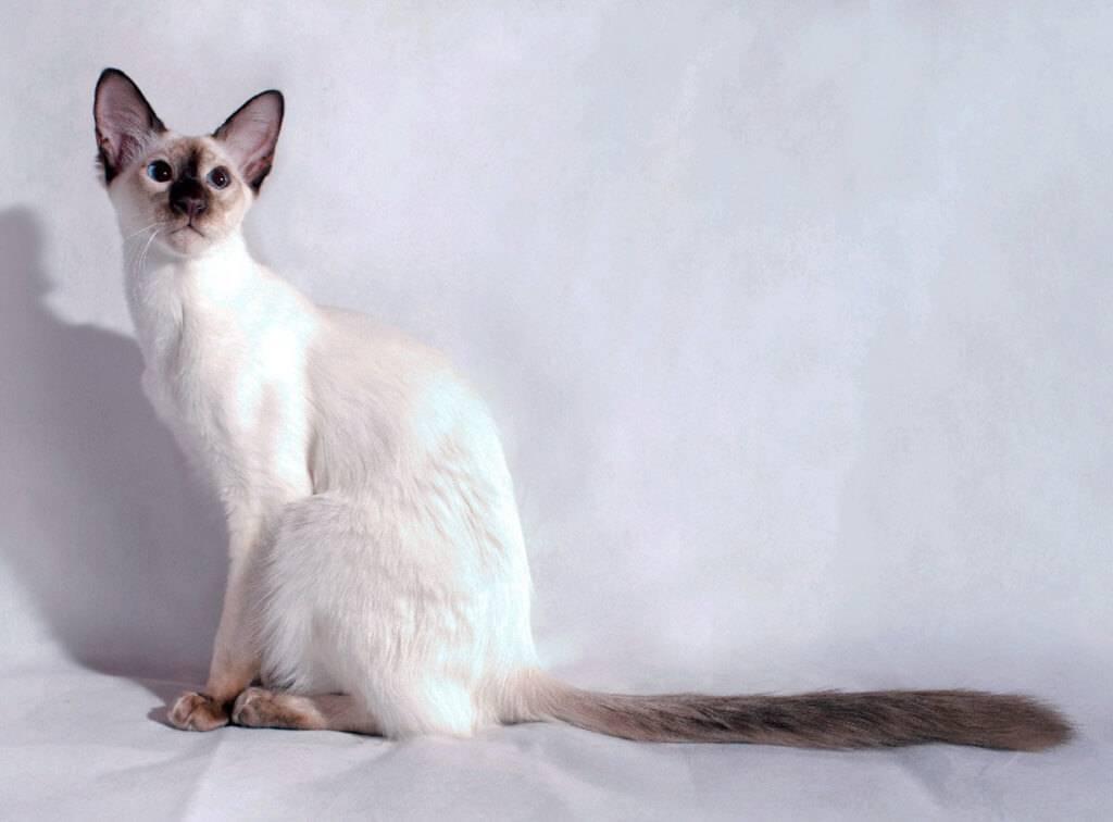 Кошка балинезийская (фото): длинношерстная родственница сиамов
