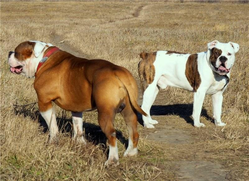 Уникальная порода собак – американский бульдог (амбуль)