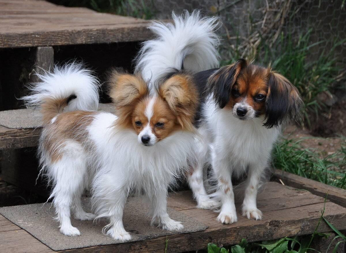 Континентальный той-спаниель: почему собаку называют бабочкой?