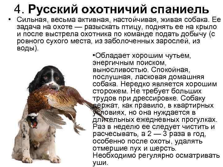 Уход и содержание русского спаниеля: как приучить азартного охотника?