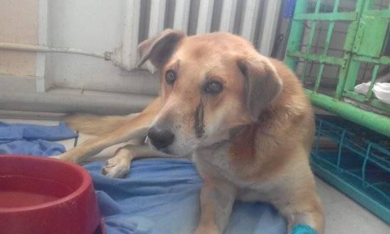 Перелом у собаки, восстановление (реабилитация) собак после перелома лапы