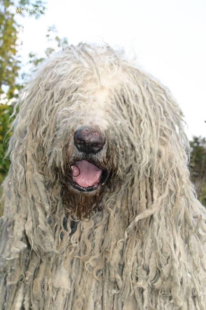 Венгерская овчарка (комондор): волк в овечьей шкуре