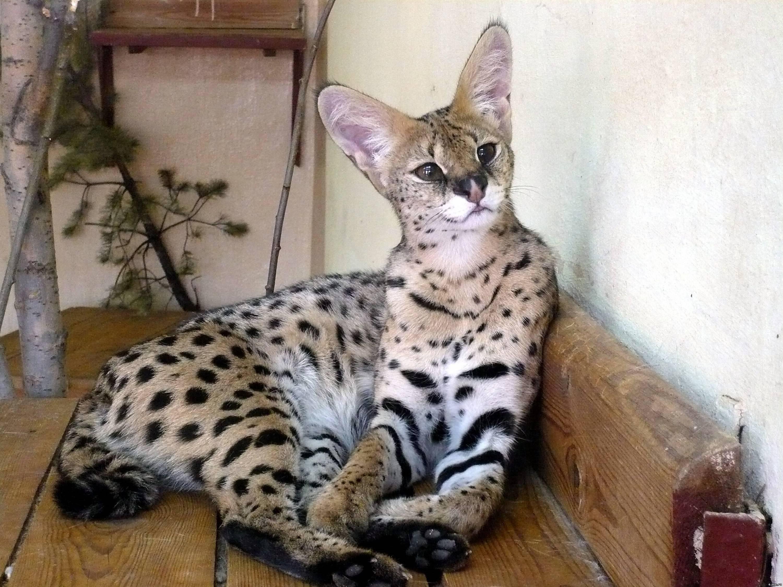 Госпожа саванна: всё о самой дорогой породе домашних кошек