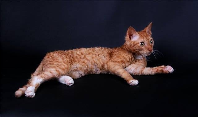 Уральские рексы (30 фото): описание породы, черты характера кошек, различия короткошерстных и длинношерстных котов
