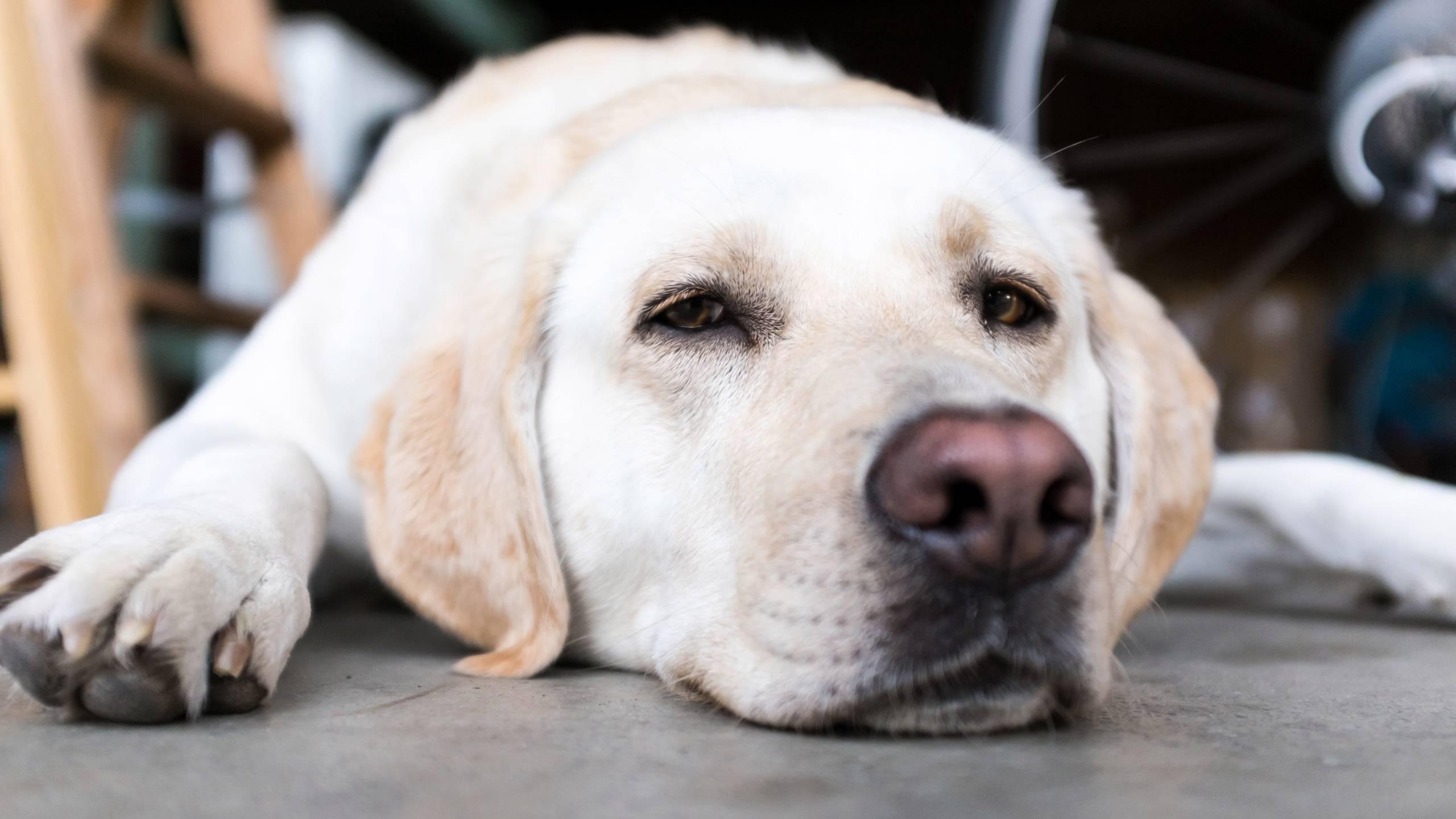 Бордетеллиоз или вольерный кашель у собак — симптомы и лечение