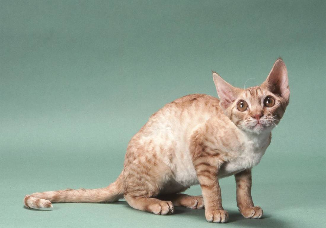 Немецкий рекс-30 фото, описание характера и внешности, котята